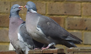 <a href='about'>Humane Pigeon Removal</a>